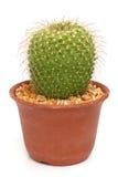 Cactus isolato su fondo bianco Fotografia Stock Libera da Diritti