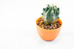 Cactus isolato su fondo bianco Fotografia Stock