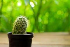 Cactus isolato su fondo verde Fotografia Stock