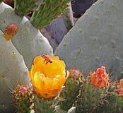 Cactus israelí en la primavera Fotos de archivo
