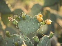 Cactus jaune de floraison Image libre de droits