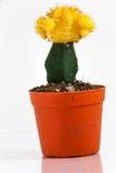 Cactus, jaune de gymnocalycium Image stock