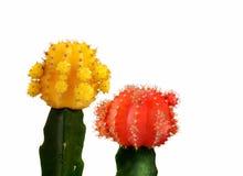 Cactus jaune et rouge d'isolement à l'arrière-plan blanc photographie stock libre de droits