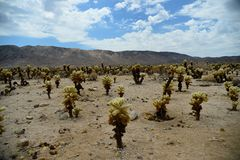 Cactus in Joshua Tree National Park Royalty Free Stock Image