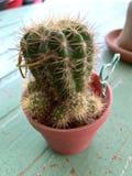 Cactus in kleine potten wordt geplant die royalty-vrije stock afbeeldingen