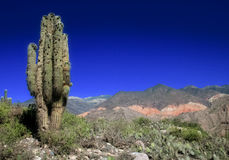 Cactus landscape in Argentina Royalty Free Stock Image