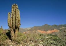Cactus landscape in Argentina Stock Images