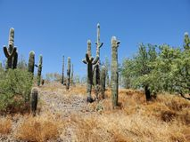 Cactus landscape Arizona desert summer blue sky. Cactus landscape arizona desert summer blue, sky stock images