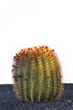 Cactus in Lanzarote island, Spain Royalty Free Stock Photos