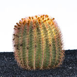 Cactus in Lanzarote island, Spain Royalty Free Stock Images
