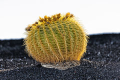 Cactus in Lanzarote island, Spain Echinocactus grusonii Stock Photography
