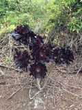 Cactus. Large cactus flower found in Aramoana, New Zealand Royalty Free Stock Photography