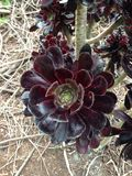 Cactus. Large cactus flower found in Aramoana, New Zealand Stock Photos