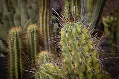 Cactus with large prickles royalty free stock image