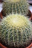 Cactus with large thorns. House plants Royalty Free Stock Photo
