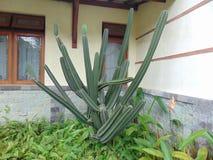 Cactus largo Fotografía de archivo libre de regalías