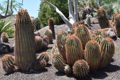 Cactus, Latijn: Ferocactuspilosus, Mexico Royalty-vrije Stock Foto