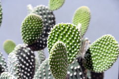 Cactus leaves Royalty Free Stock Photo