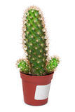Cactus like a penis on white background. Cactus like a penis in a pot on a white background Royalty Free Stock Photography