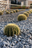 Cactus. Line of cactuses on gravel ground Stock Photography