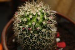 Cactus. Little cactus closeup, top view Stock Photos
