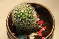 Cactus. Little cactus closeup, top view Stock Photography