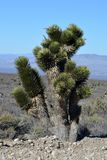 Rural Southern Nevada Cactus in a field royalty free stock photography