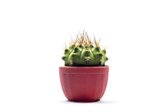 Cactus with long needle in the pot with white background Royalty Free Stock Image