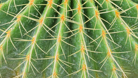 Cactus with long spines Stock Photo