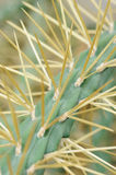 Cactus with long spines Stock Photos