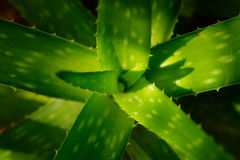 Cactus macro leaf background Royalty Free Stock Image