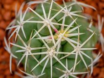 Cactus macro, top view. Of zone with needles stock images