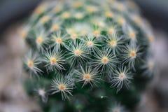 Cactus Macroschot Royalty-vrije Stock Foto's