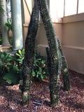 Cactus magnifique Photos libres de droits