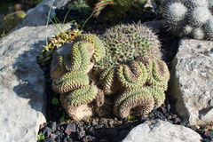 Cactus in Mallorca January winter garden. In sunlight Royalty Free Stock Photos