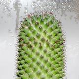 Cactus Mamillaria, opinión del primer Fotos de archivo libres de regalías
