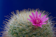 Cactus Mammilaria Royalty Free Stock Photography
