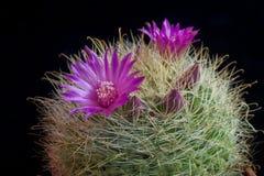 Cactus Mammilaria Immagini Stock