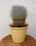 Cactus - mammilaria hahniana Stock Photos