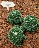 Cactus, Mammillaria bucareliensis Royalty Free Stock Image