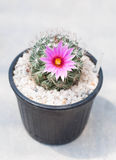 Cactus, mammillaria Royalty Free Stock Photo