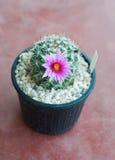 Cactus, mammillaria Stock Images