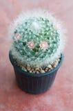Cactus, mammillaria Royalty Free Stock Image