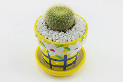 Cactus. Mammillaria elongata on white background Royalty Free Stock Photos