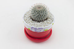 Cactus. Mammillaria elongata on white background stock images
