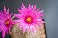 Cactus,mammillaria guelzowiana Royalty Free Stock Photo