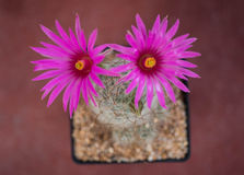 Cactus,mammillaria guelzowiana Royalty Free Stock Photos