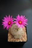 Cactus,mammillaria guelzowiana Stock Photos