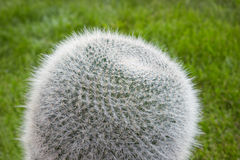 Cactus Mammillaria on the lawn Royalty Free Stock Image