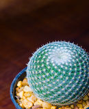 Cactus Mammillaria microthele Stock Photos